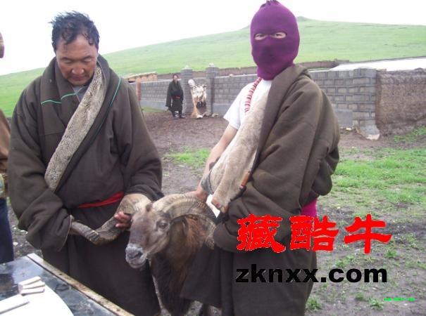青海省河南县牧民尕科养欧拉羊产冬羔当年育肥出栏高清图片
